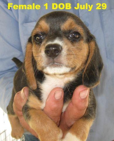 AKC Tricolor Female Beagle Puppies - DOB July 29
