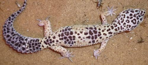 Gecko - Geckos - Medium - Young - Female - Scales, Fins & Other