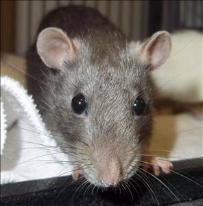 Rat - Oreo - Medium - Young - Female - Small & Furry