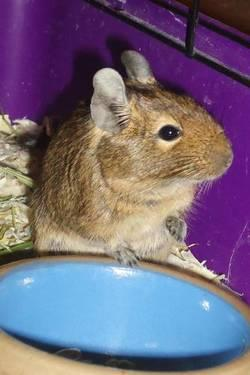 Degu - Sugar - Small - Adult - Female - Small & Furry