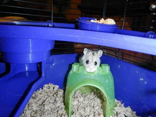 Hamster - Pip - Small - Adult - Female - Small & Furry