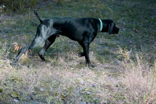 AKC Black Male GSP - Finished Hunting dog
