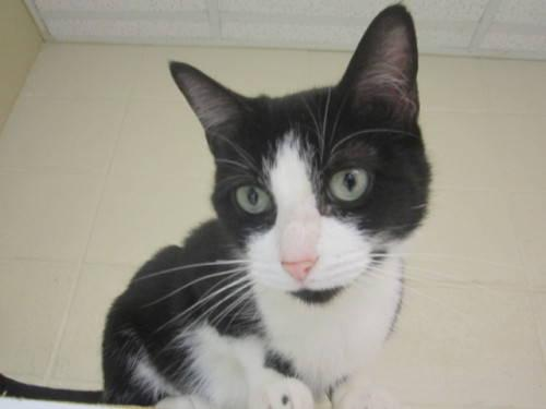 Domestic Short Hair - Black and white - Hebe - Small - Adult
