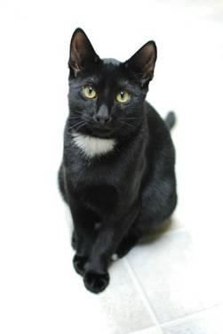 Domestic Short Hair - Black and white - Jax - Medium - Young