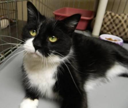 Domestic Short Hair - Black and white - Kato - Medium - Adult