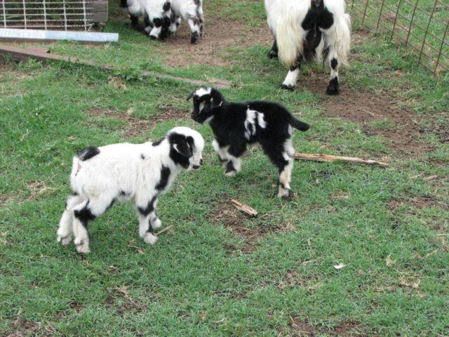 Fainting Goats--adults - kids for Sale in El Campo, Texas Classified