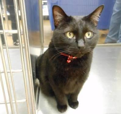 Domestic Short Hair - Black - Missy - Large - Adult - Female