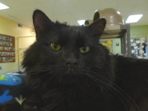 Domestic Medium Hair - Black - Zaboo - Large - Adult - Male