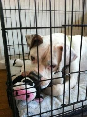 American Bulldog - Jax / Atlanta, Ga - Large - Adult - Male