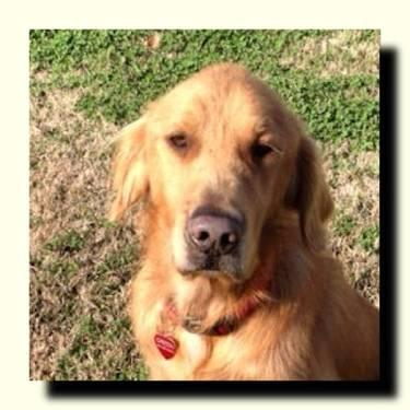 Golden Retriever - Hardy - Avail Soon - Large - Adult - Male