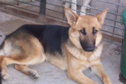 German Shepherd Dog - Amy/not Available - Large - Baby - Female