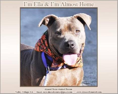 Pit Bull Terrier - Ella (good Girl) - Large - Young - Female
