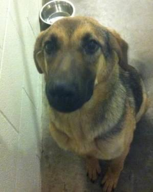German Shepherd Dog - Sandy & Sadie - Large - Young - Female
