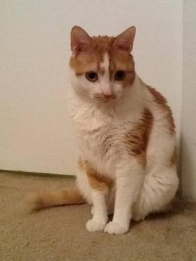 Domestic Short Hair - Orange and white - Lola - Medium - Adult