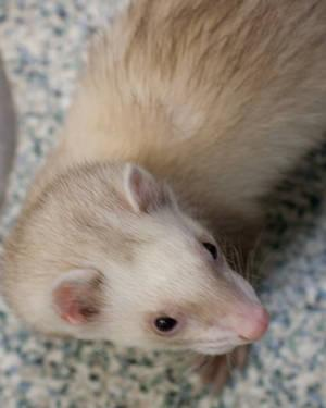 Ferret - Newman - Small - Young - Male - Small & Furry