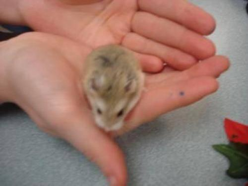 Hamster - Chip - Small - Young - Male - Small & Furry