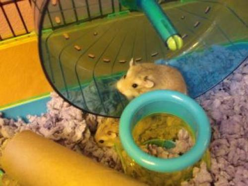 Hamster - Beaner - Small - Young - Male - Small & Furry