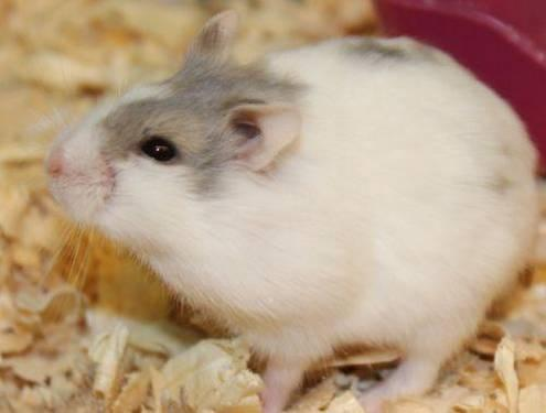 Hamster - Vladamir - Small - Adult - Male - Small & Furry