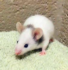 Mouse - Starlight - Small - Baby - Male - Small & Furry