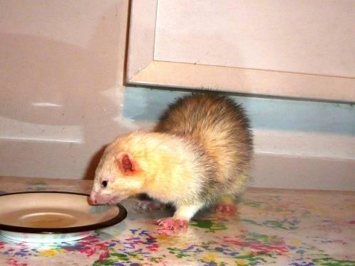Ferret - Disco - Medium - Young - Male - Small & Furry