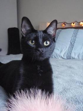 Domestic Short Hair - Black - Kuro - Medium - Adult - Female