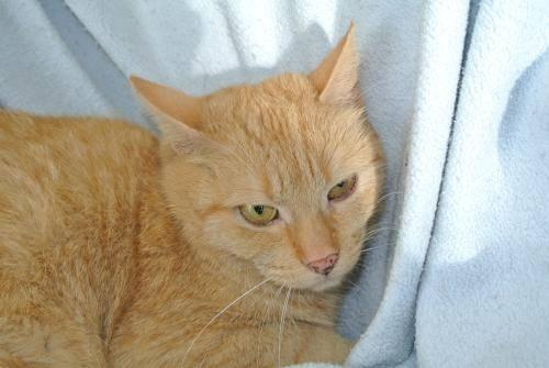 Domestic Short Hair - Orange - Rhoda - Medium - Adult - Female