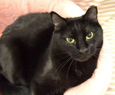 Domestic Short Hair - Black - Angel - Medium - Adult - Female