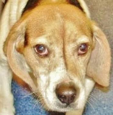 Beagle - Rodney-still In Shelter Kw - Medium - Adult - Male
