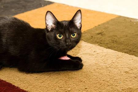 Domestic Short Hair - Black - Raspberry - Medium - Baby - Female