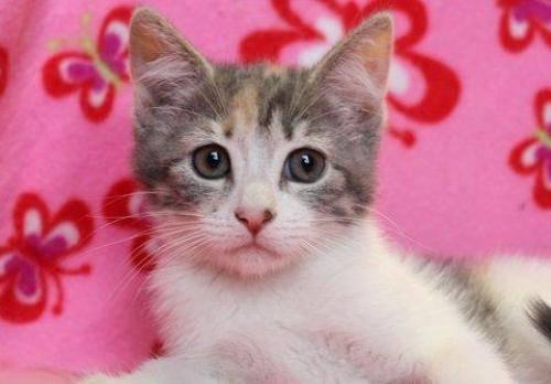 Domestic Short Hair - White - Paisley - Medium - Baby - Female