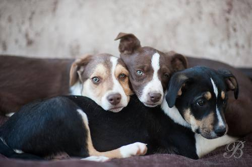 Border Collie - Cassie, Rosie, Ginger - Medium - Baby - Female