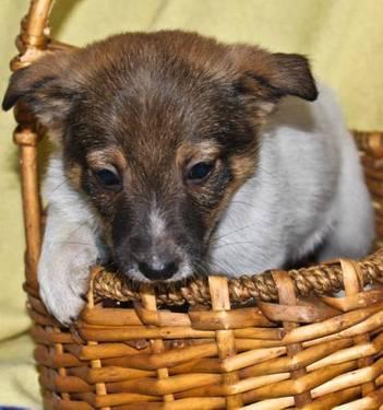 Norwegian Elkhound - Bobbi - Pending - Medium - Baby - Female