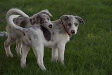 Australian Shepherd - Female Aussie Pup - Medium - Baby - Female