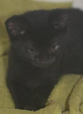 Domestic Short Hair - Black - Knight - Medium - Baby - Male