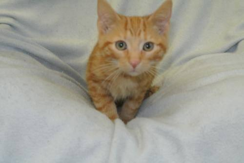Domestic Short Hair - Orange - Channing - Medium - Baby - Male