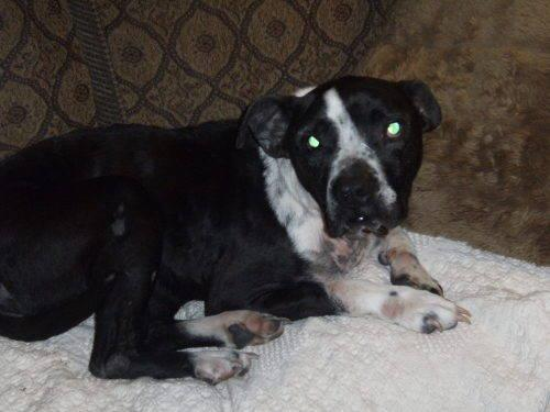 American Staffordshire Terrier - Sissy - Medium - Senior
