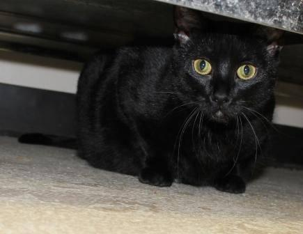 Domestic Short Hair - Black - Meredith - Medium - Young - Female