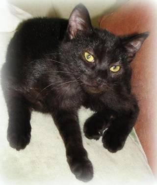 Domestic Short Hair - Black - Petunia - Medium - Young - Female