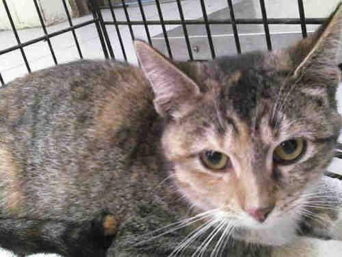 Domestic Medium Hair - Miss Kitty - Medium - Young - Female