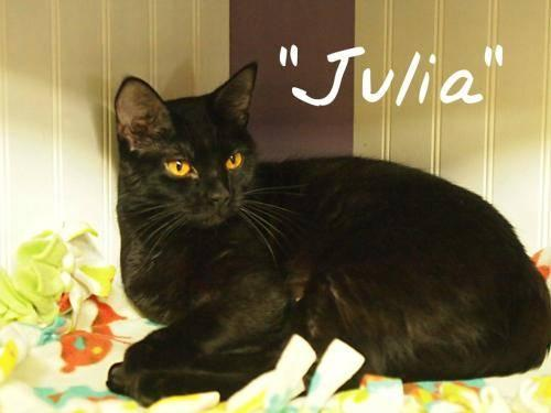 Domestic Short Hair - Black - Julia - Medium - Young - Female