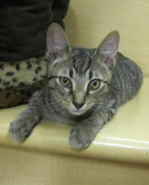 Domestic Short Hair - Gray - Molsen - Medium - Young - Male