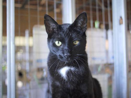 Domestic Short Hair - Black - Stuart - Medium - Young - Male
