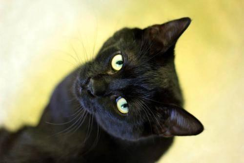 Domestic Short Hair - Black - Panther - Medium - Young - Male