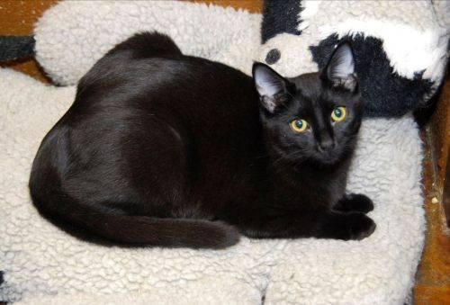 Domestic Short Hair - Black - Fritz - Medium - Young - Male