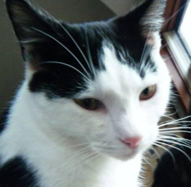 Domestic Short Hair - Black and white - Melvin - Medium - Adult