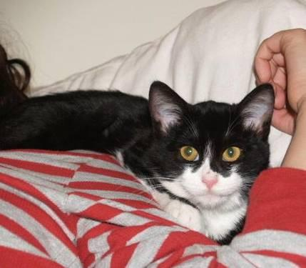 Domestic Short Hair - Black and white - Mittens - Small - Young