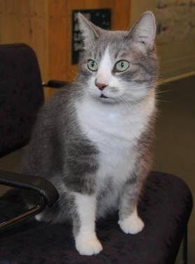 Domestic Short Hair - Gray and white - Niki - Small - Adult