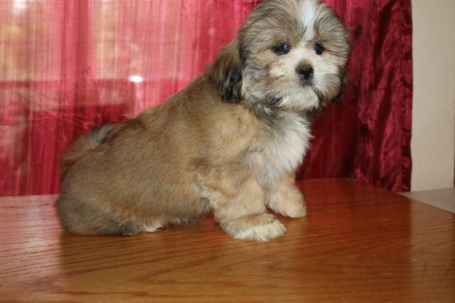 Pure bred Lhasa Apso - not registered