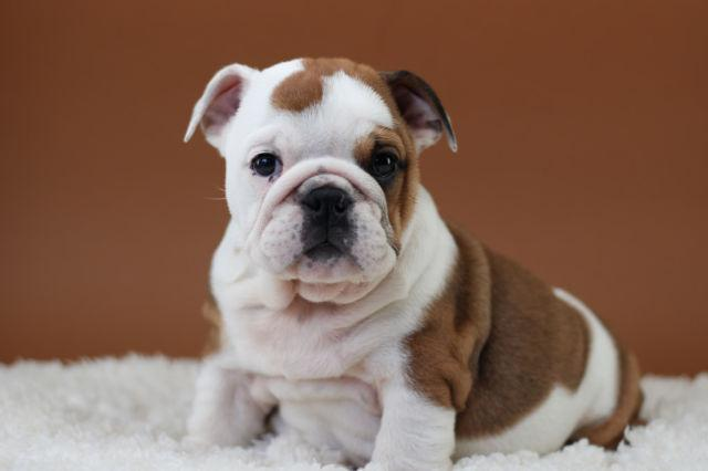 English Bulldog Puppies For Sale - Papered - Health