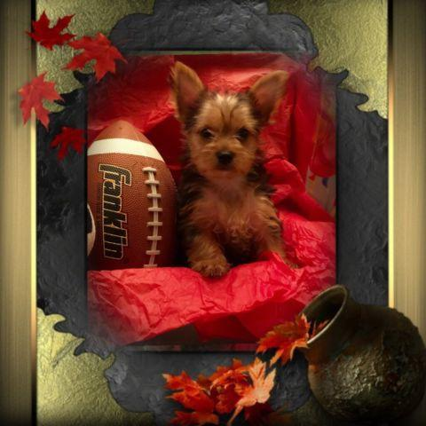 AKC TEACUP YORKIE PUPPIES - PARTI CARRIERS for Sale in Yucca